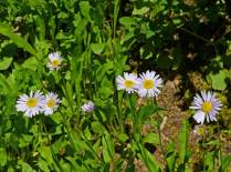 Asters, usually a late summer flower